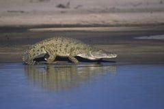 Nile krokodil Fotografering för Bildbyråer