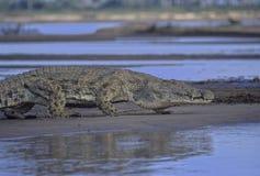 Nile krokodil Royaltyfri Foto