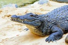 Nile krokodil Arkivbild