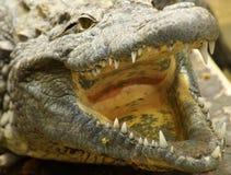 Nile krokodil Royaltyfri Bild