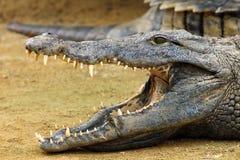 Nile krokodil Arkivfoto