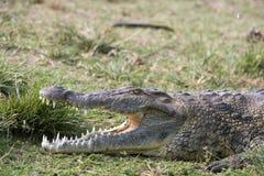 Nile krokodil som lägger i gräset Royaltyfri Bild