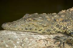 Nile krokodil som lägger på en broken tree Arkivbild
