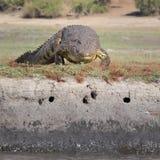 Nile krokodil som ligger på flodstrand Arkivfoton
