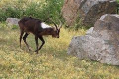 Nile lechwe Royalty Free Stock Photo