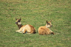 Nile lechwe. The couple of lying nile lechwe females Stock Photography