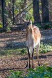 Lechwe brown antelope feeding on grass. Herbivorous animal. Royalty Free Stock Photos