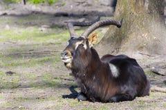 Nile lechwe (Kobus megaceros) Stock Photos