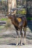 Nile lechwe (Kobus megaceros) Stock Images