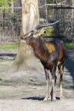 Nile lechwe (Kobus megaceros) Royalty Free Stock Photos