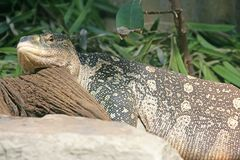 Nile Monitor 1 Royalty Free Stock Images