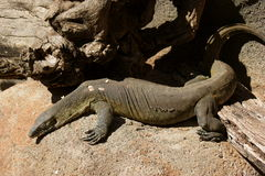 Nile Monitor Royalty Free Stock Image
