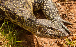 Nile Monitor. The Nile Monitor (Varanus niloticus) likes the proximity of water at the Shimba Hills nature reserve in Kenya stock photo