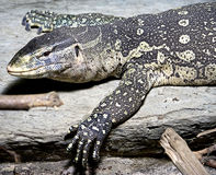 Nile monitor 4 Stock Images