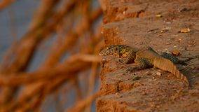 Nile Monitor Imagem de Stock Royalty Free