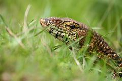 Nile Monitor Stock Image