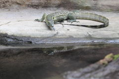 Nile monitor Stock Photos