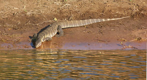 Nile monitor in Botswana Royalty Free Stock Photo