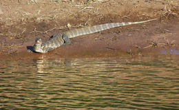Nile monitor in Botswana Royalty Free Stock Photography