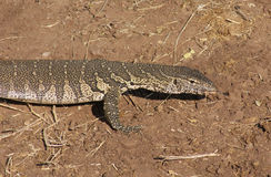 Nile monitor in Botswana Stock Images