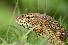 Nile Monitor closeup Royalty Free Stock Photography