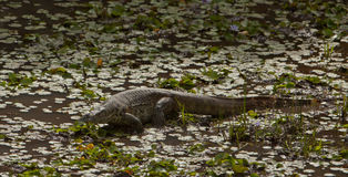 Nile Monitor in a lagoon. The Nile Monitor (Varanus niloticus) likes the proximity of water at the Shimba Hills nature reserve in Kenya royalty free stock image