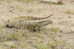 Nile monitor leguan Stock Photography