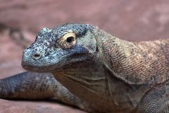 Nile Monitor Lizard Stockbilder