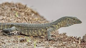 The Nile monitor lizard is a large species of monitor lizards. It is the largest and one of the most widespread lizards in Africa. The Nile monitor lizard royalty free stock photography