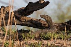 Nile monitor lizard posing. Nile Monitor (Varanus niloticus) walking next to river, Namibia, 2015 royalty free stock image