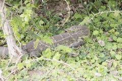 Nile monitor lizard, Queen Elizabeth National Park, Uganda. Nile monitor lizard in leaves in Queen Elizabeth National Park, Uganda, Africa Royalty Free Stock Image