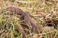 Nile Monitor lizard Stock Image