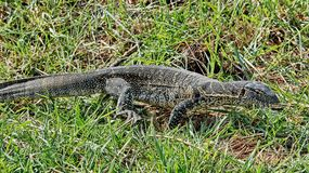 The Nile monitor lizard is a large species of monitor lizards. It is the largest and one of the most widespread lizards in Africa. The Nile monitor lizard stock image