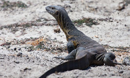 Nile monitor lizard Royalty Free Stock Image