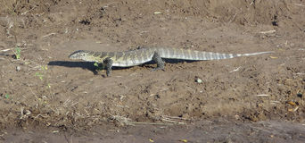 Nile monitor Stock Images