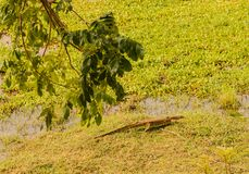 Nile monitor in the savannah of in Zimbabwe, South Africa stock photo