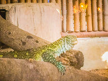 The Nile monitor (Varanus niloticus) , also called the African s Royalty Free Stock Image