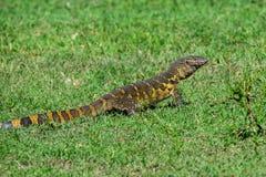 Nile monitor or Varanus niloticus. Is crawling in African savannah Royalty Free Stock Images