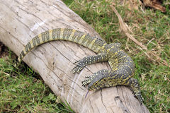 Nile Monitor Royalty Free Stock Photography