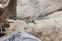Free Nile Monitor Varanus Niloticus On A Trunk Royalty Free Stock Image - 132560536