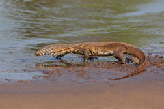 Nile monitor. (Varanus niloticus) walking in shallow water, South Africa stock photography