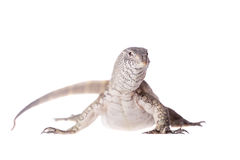 Nile monitor on white background Royalty Free Stock Image