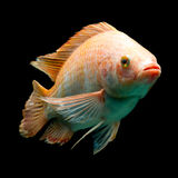 Nile Red Tilapia Fish Royalty Free Stock Photography