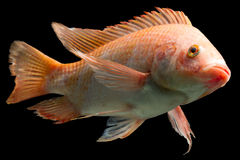 Nile Red Tilapia Fish Stock Photos