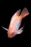 Nile Red Tilapia Fish Royalty Free Stock Photos