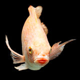 Nile red tilapia Stock Images