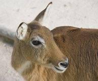 Nile Sudanese swamp goat. Cloven-hoofed animal from Africa, the Sudanese of the Nile swamp goat Stock Image