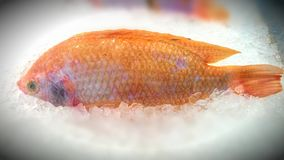 Nile tiapia. Fish Royalty Free Stock Images