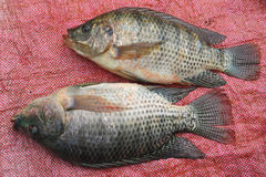 Nile Tilapia Royalty Free Stock Photo