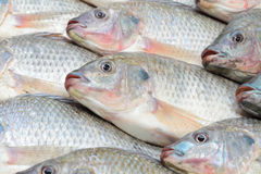 Nile Tilapia Photos stock